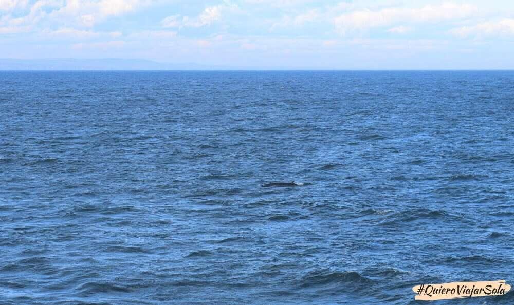 Ballenas en Quebec, Minke