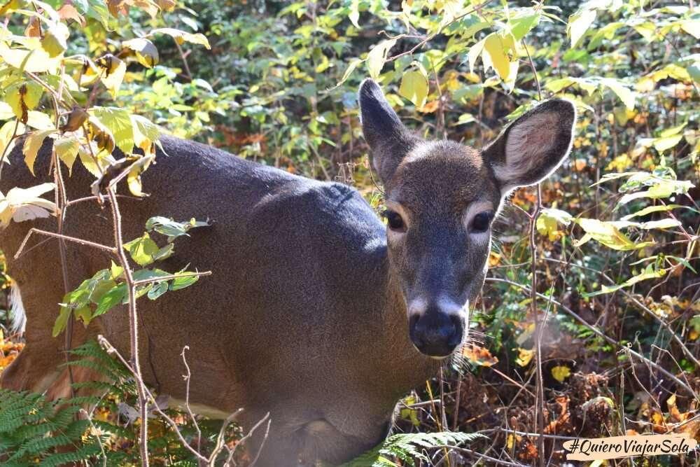 Visitar el Parque Nacional de Mont Tremblant, ciervo