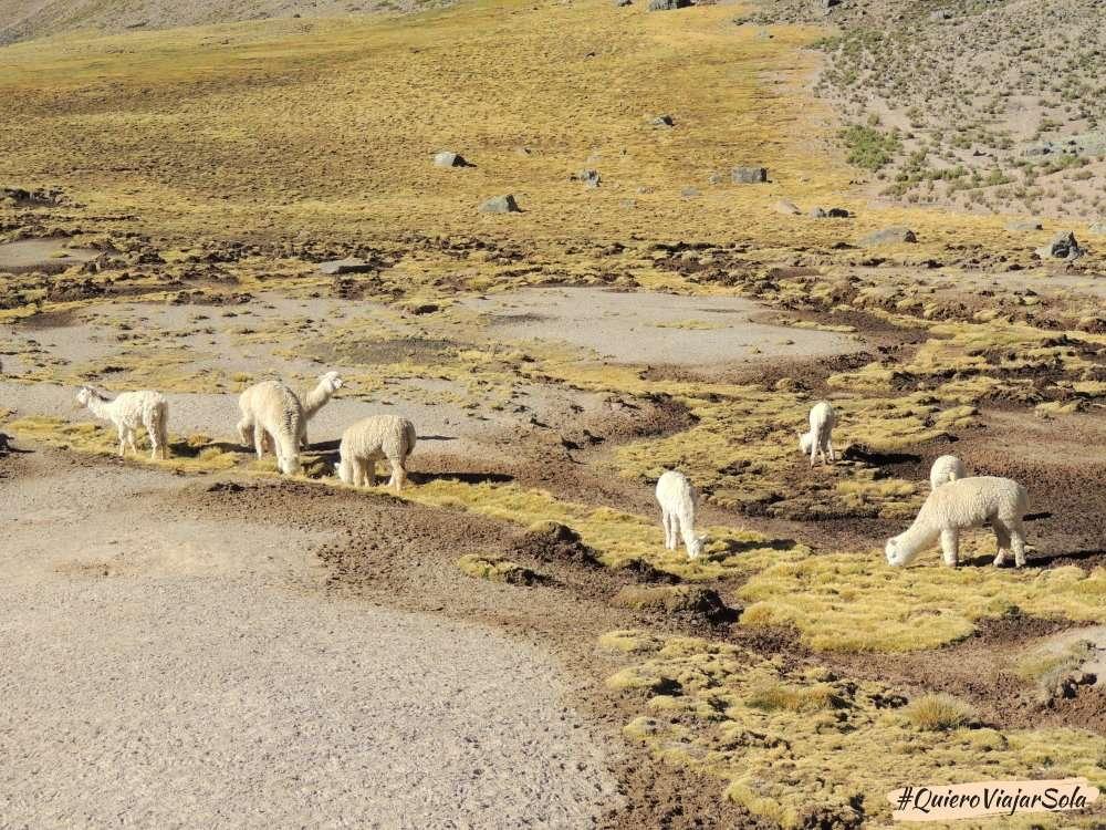 Visitar el Valle del Colca Arequipa, alpacas