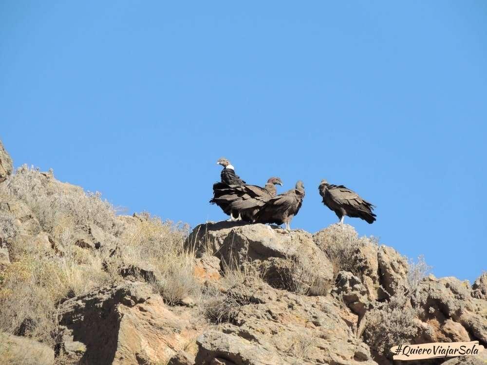 Visitar el Valle del Colca Arequipa, cóndores