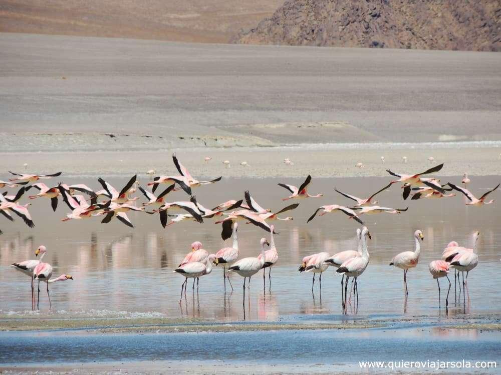 Antofagasta de la Sierra, flamencos